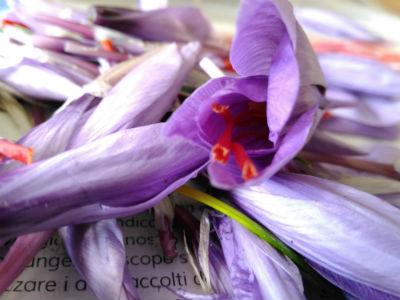 Fiore dello zafferano
